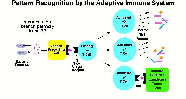 K Antigen Bacteria Morita Immunolo...